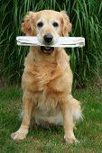 golden retriever -  assistant  mailman