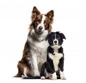 Puppy border collie dog, Border Collie, in front of white background poster