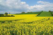 Colza amarillo en floración con cielo azul y nubes blancas