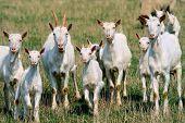 Goats on the goat farm