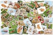 A collage of photos of golden retriever, a collection of photos isolated on a white background, whic