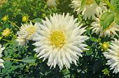 Dahlia Cactus Flower In The Garden poster