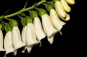 A white foxglove, digitalis-purpurea, against a black background.