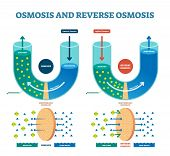 Osmosis Reverse Vector Illustration. Explained Process With Water Example. Pressure, Flow And Pure W poster
