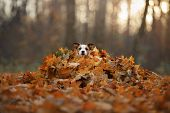 The Dog Hid In The Yellow Leaves. Jack Russell Terrier At Nature In The Fall. Pet Walk In Autumn poster
