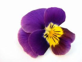 picture of violet flower  - Flower  - JPG