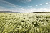 Landscape of a beautiful wheatfield blowing in the summer wind - motion blurred