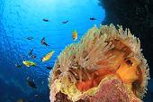 picture of damselfish  - Sea Anemone - JPG