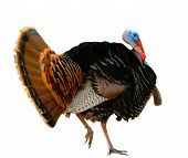 American Turkey Strutting