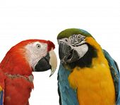 Two Colorful Parrots On White Background