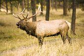 Elk In Rut