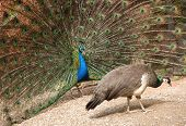 stock photo of peahen  - peacock mating ritual displaying feathers to peahen