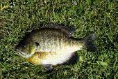 stock photo of bluegill  - bluegill fish close up with a grass background - JPG