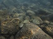 picture of sedimentation  - three manini fish and a puffer fish swimming in sediment water - JPG