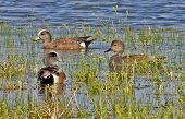 pic of pintail  - Two American widgeons with one Northern pintail swimming through plants on dark blue pond - JPG