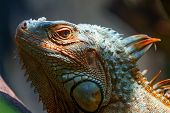 Iguana, Silhouette, Head