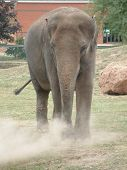 pic of hughes  - elephant kicking up dust during a dry period - JPG