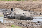 The white rhinoceros