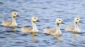 4 gansos de bebê
