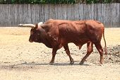 watusi cow in zoo