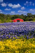 Red Barn In The Bluebonnet Field