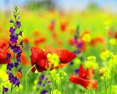 stock photo of poppy flower  - Summer wildflowers - JPG
