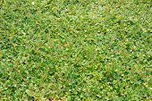 picture of bearberry  - Cotoneaster dammeri fast - JPG