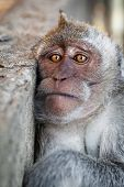 foto of macaque  - Portrait of a sad monkey  - JPG