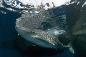 Whale Shark Near Surface With Men On Raft