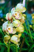 White rain lily, Zephyranthes candida
