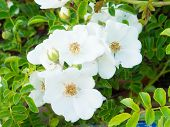 stock photo of wild-brier  - This is a photograph of flowers of wild rose - JPG