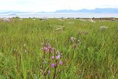 Alaska Beach Meadow with Wildflowers
