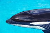 foto of blubber  - Killer whale swimming in clear blue water - JPG