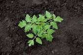 pic of germination  - Tomato plant seedling in the vegetable garden - JPG