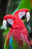 Two colorful macaw parrots