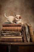 Cute little chihuahua puppy on top of old antique books