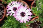 Pink Flower Osteospermum