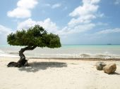 Árvore de Divi Divi Praia da águia