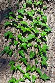 Ivy Ordinary Or Ivy Climbing (lat. Hedera Helix) On The Trunk Of The Tree