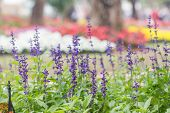 stock photo of blue-salvia  - Blue Salvia  - JPG