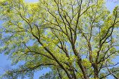 stock photo of elm  - Elm green branches spread full in spring - JPG