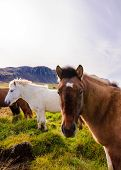 image of iceland farm  - The Icelandic horse is a breed of horse developed in Iceland - JPG