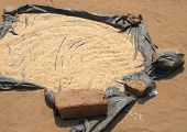 Drying rice in South Luangwa National Park, Zambia, Africa