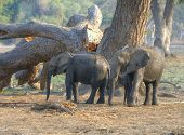 Постер, плакат: Elephant calves walking in South Luangwa National Park Zambia Africa