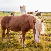 pic of iceland farm  - The Icelandic horse is a breed of horse developed in Iceland