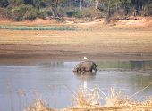 Hippo walking in water in South Luangwa National Park, Zambia, Africa