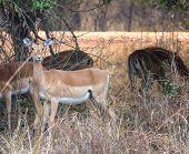 Springboks walking in South Luangwa National Park, Zambia, Africa