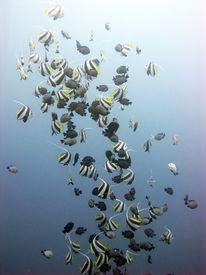 stock photo of damselfish  - Schooling bannerfish meddle with grey damselfish in blue water  - JPG