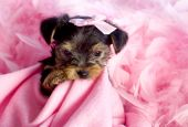 stock photo of yorkshire terrier  - Cute Yorkshire Terrier Puppy chewing on pink blanket with pink bow and feather boa - JPG