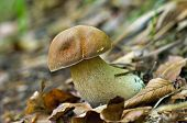 Cep in the wood